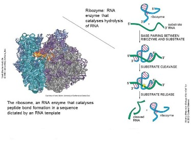 Slide 12 RNA can act as catalyst as well as information store – could it replicate itself?