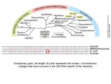 Slide 15 Molecular phylogeny