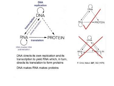 Slide 2The Central Dogma of molecular biology