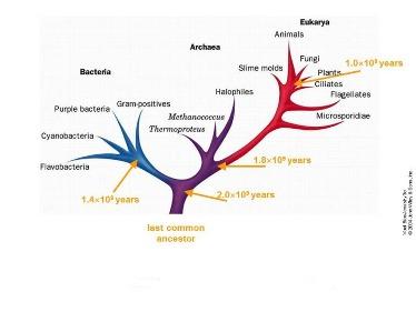Slide 20 Phylogenetic tree based on evolution of conserved enzymes