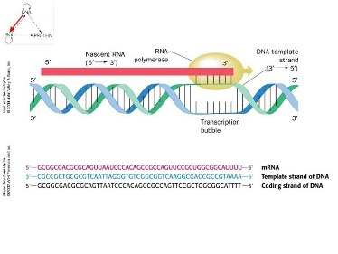 Slide 4	RNA synthesis: transcription
