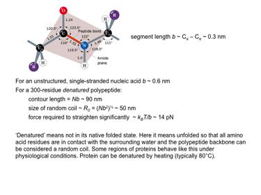Slide 15 Example of a biological polymer: polypeptide