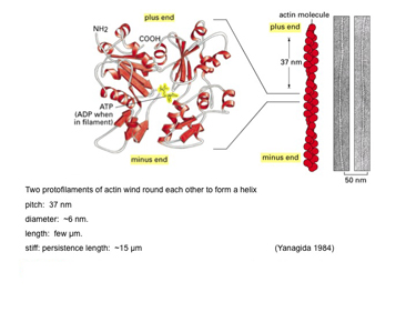 Slide 17 Actin filaments can be modelled as wormlike chains