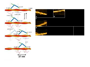 Slide 17 High-speed AFM of myosin V 'walking'