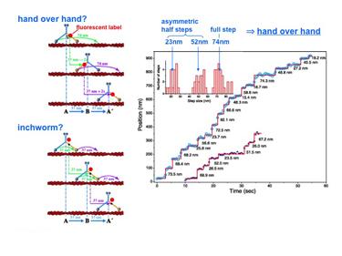 Slide 8Microscopy with 1 nm resolution: stepping of myosin V.