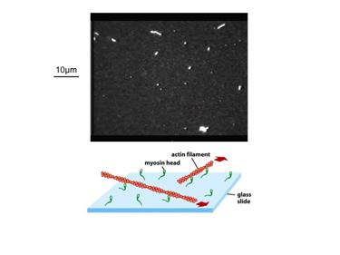 Slide 5Actomyosin in vitro motility assay