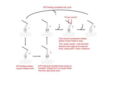 Slide 6Actomyosin crossbridge cycle