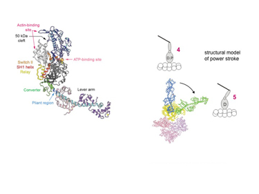 Slide 7 Conformational states of the myosin motor revealed by X-ray crystallography.