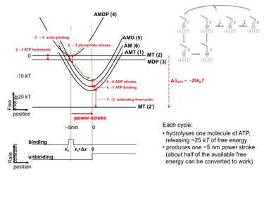 Slide 3	Free-energy profiles of states in the actomyosin cycle.