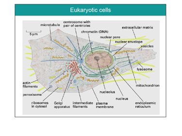 Slide 2	The main structural elements of an animal eukaryotic cell
