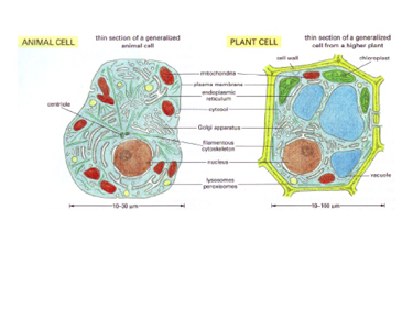 Slide 3	Comparison between animal and plant cells