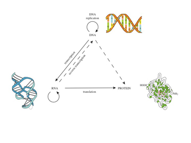 Slide 5	The central dogma of molecular biology