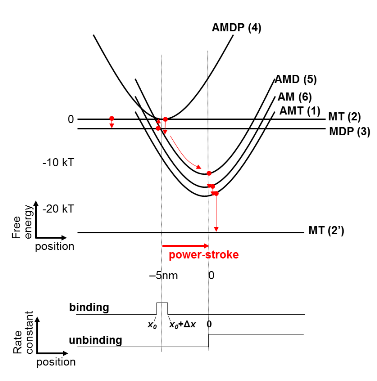 Figure 3 Free-energy profiles of states in the acto-myosin cycle