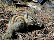 Alpine chipmunk
