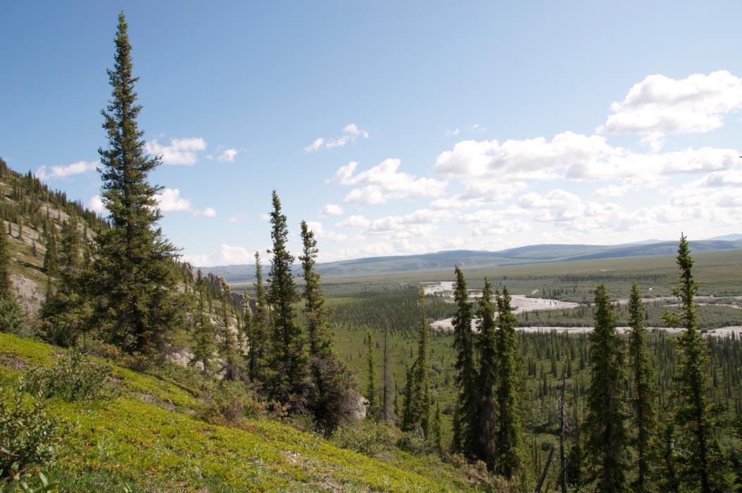 trees summer alaska - photo #10