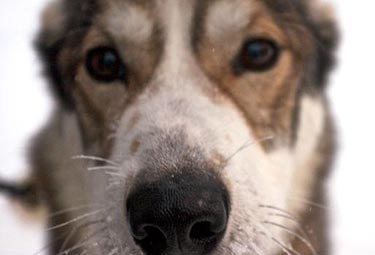 "Sled dog (courtesy of <a href=""http://www.sleddogstudio.com"">Sled Dog Studio Photographic Arts</a>)"