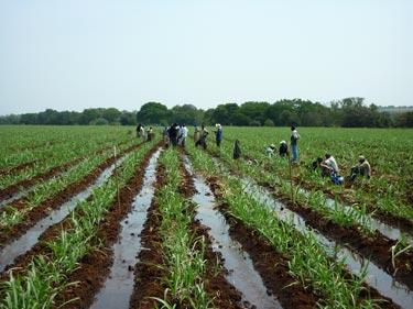 Sugarcane in Swaziland