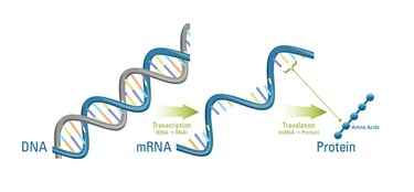 DNA carries the instructions, or genes, to make proteins