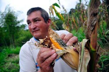 Potential impact of temperature increase on tropical maize