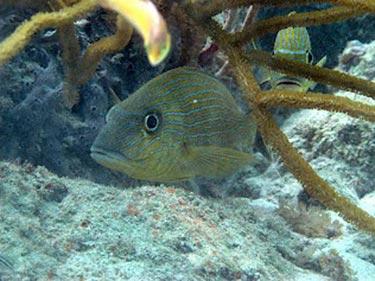 Reef resident