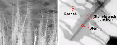 Tree-like nanostructures: branched NiSi NWs
