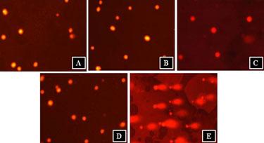 Comet assay: KelFil samples alongside negative and positive controls
