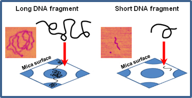 Long and short DNA fragments on mica surface.