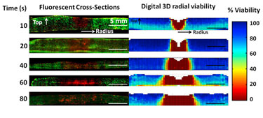 Demonstration and validation of 3D viability measurement
