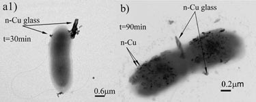 Bactericidal action of glass-copper powder on <i>E. coli</i>