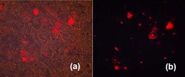 Cl-QD nanosensors loaded into cells