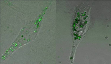 From left to right: silver nanoparticles in L929 and A549 cells.
