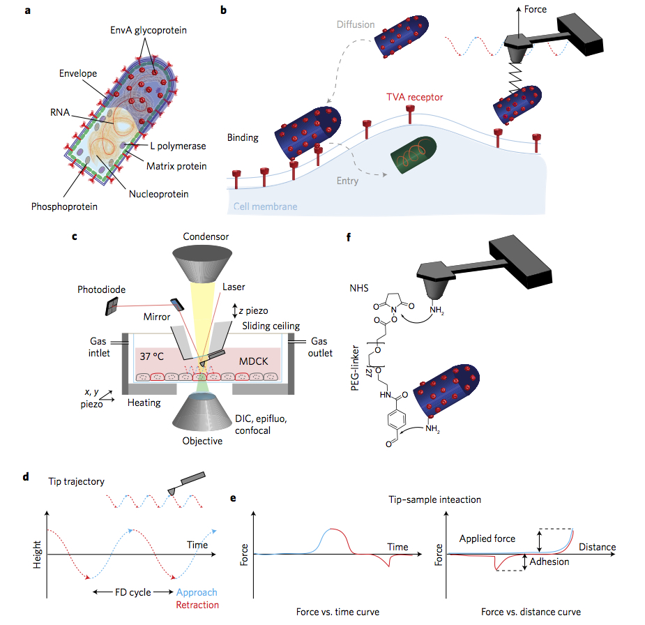 Watching a virus bind to a biological cell nanotechweb combining confocal microscopy and afm to image animal cells and detect virus binding pooptronica