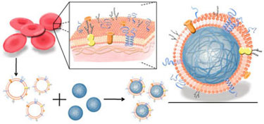 Diagram showing how to prepare red blood cell-membrane-coated nanoparticles