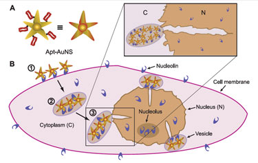 Nanostars travel to cancer cell nucleus