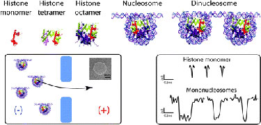 Histone oligomers and nucleosome assemblies