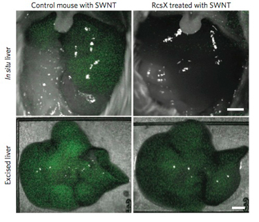 CNT injection and mice liver images