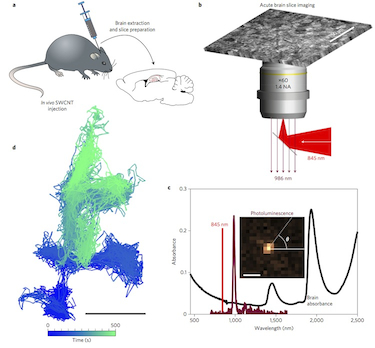 Single-molecule tracking of luminescent SWCNTs in live ECS brain tissue