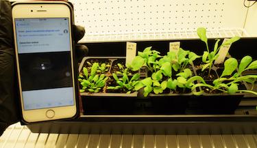 Nanobionic spinach plants