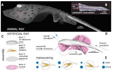 Bioinspired concept design of a tissue-engineered ray.