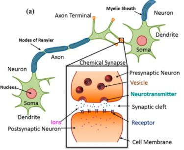 Neurotransmitter release and PSC