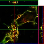 Quantum dots spy on virus particles: confocal micrograph