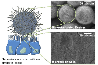 Cell-nanowire interface