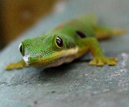 [Image: Gecko.jpg]