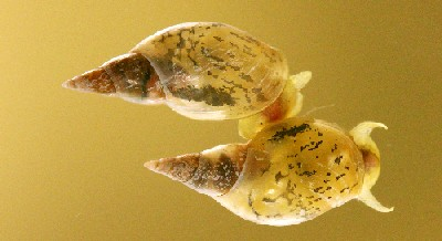 <i>Lymnaea stagnalis</i>