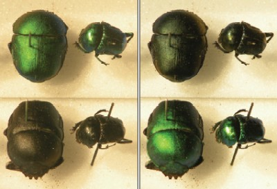 Four photos of the scarab beetles with their metallic green shells