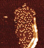 Microscope image showing growth of the tetracarboxylic acid-C60 bilayer