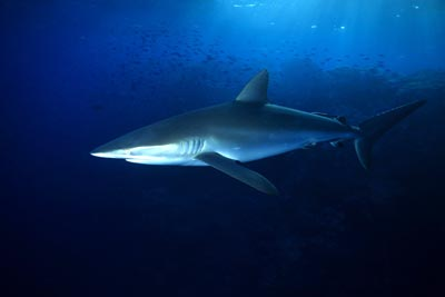 Silky sharks were among the tracked marine predators