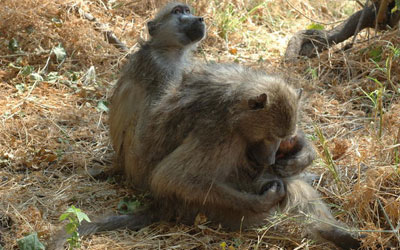 A baboon cradles its newborn. Courtesy: Lucia Seyfarth/University of Pennsylvania