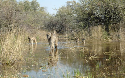Baboons wade through water in the Okavango Delta. Courtesy: Lucia Seyfarth/University of Pennsylvania
