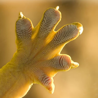 A photograph of a gecko's foot